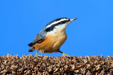 Red-breasted Nuthatch (sitta canadensis) on a snow-covered branch with a blue background