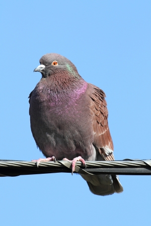 songbird: Feral Rock Pigeon (Columba livia) perched with a blue sky background