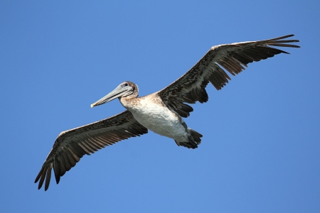 Brown Pelican  Pelecanus occidentalis  in flight
