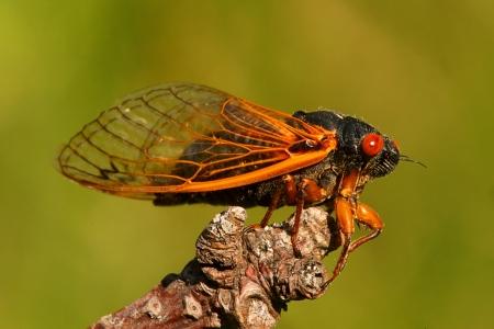cicada bug: 17 Year Cicada (Magicicada cassini) perched on a stick with a green background