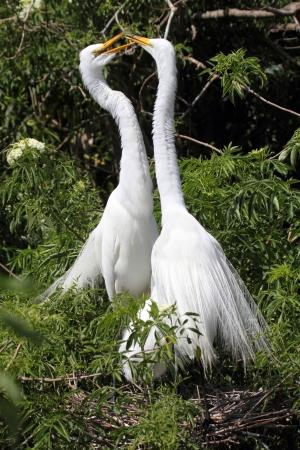 Grote Zilverreigers (Ardea alba) uitvoeren van hofmakerij rituelen in de Florida Everglades Stockfoto