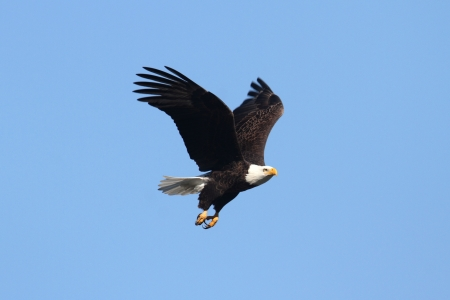 Adult Bald Eagle  haliaeetus leucocephalus  in flight against a blue sky