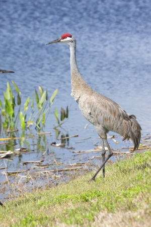 Sandhill Crane (Grus canadensis) in the Florida Everglades photo