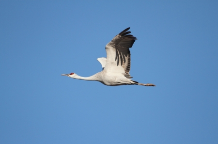canadensis: Sandhill Crane (Grus canadensis) in flight at Bosque del Apache in New Mexico Stock Photo