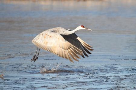 sandhill crane: Sandhill Crane (Grus canadensis) in flight at Bosque del Apache in New Mexico over an frozen pond Stock Photo