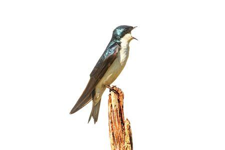 Tree Swallow (tachycineta bicolor) op een stomp geïsoleerd op een witte achtergrond Stockfoto