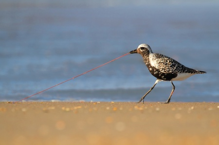 pluvialis: Black-bellied Plover (Pluvialis squatarola) with a worm by the Atlantic ocean Stock Photo