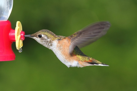 Allens Hummingbird  Selasphorus sasin  in flight at a feeder with a green background