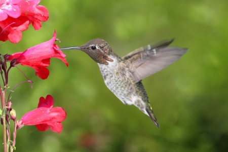 anna: Annas Hummingbird  Calypte anna  in flight at a flower with a green background