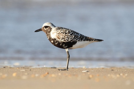 pluvialis: Black-bellied Plover  Pluvialis squatarola  by the Atlantic ocean