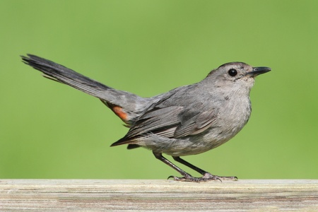 Gray Catbird (Dumetella carolinensis) on a fence with a green