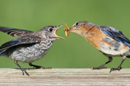 fledgling: Female Eastern Bluebird (Sialia sialis) feeding her hungry baby Stock Photo
