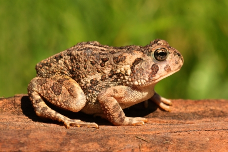 bufo bufo: Fowlers toad (Anaxyrus Bufo fowleri) on a log with a green background Stock Photo