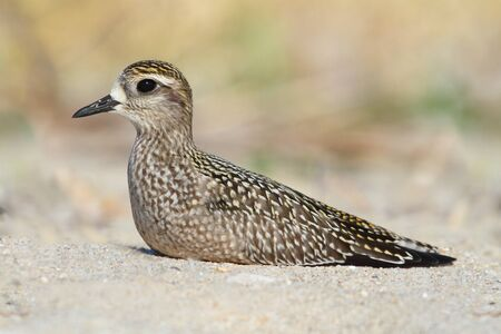 pluvialis: American Golden-Plover (Pluvialis dominica) resting on a beach
