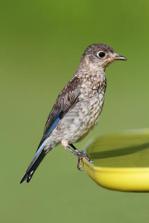 fledgling: Baby Eastern Bluebird (Sialia sialis) on a birdbath with a green  Stock Photo