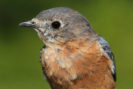 Eastern Bluebird (Sialia sialis) close-up with a green