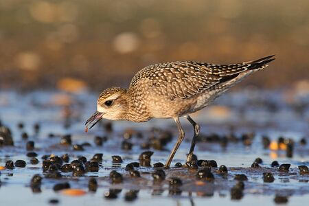 pluvialis: American Golden-Plover (Pluvialis dominica) with a worm by the Atlantic ocean