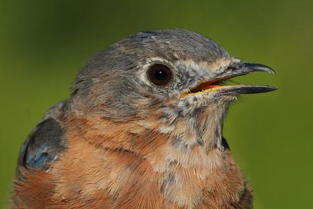 Eastern Bluebird (Sialia sialis) close-up with a green 版權商用圖片 - 22725754
