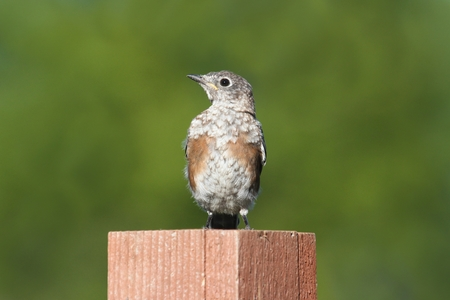 molting: Baby Eastern Bluebird (Sialia sialis) molting with a green