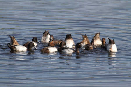scaup: Flock of Lesser Scaup (Aythya affinis) swimming in the Florida Everglades Stock Photo