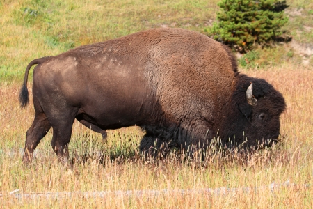 american bison: American Bison (Buffalo) in in Yellowstone National Park