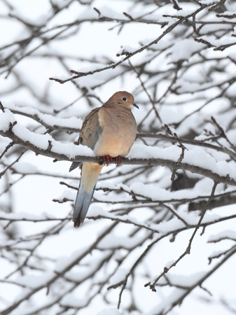 Sleeping Mourning Dove (Zenaida macroura) in an apple tree covered with snow  in winter photo