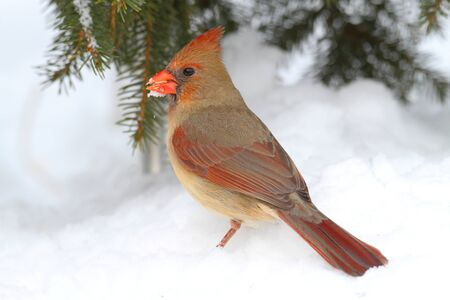 Female Northern Cardinal (cardinalis cardinalis) by a Spruce branch covered with snow