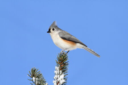 titmouse: Tufted Titmouse (baeolophus bicolor) on a snow-covered Spruce Tree with a blue sky background
