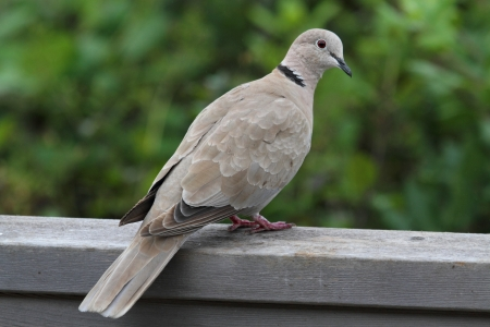 songbird: Eurasian Collared-Dove (Streptopelia decaocto) perched on a fence
