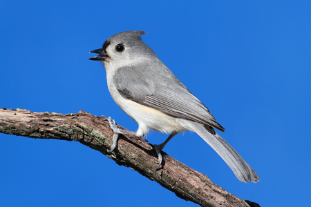 titmouse: Tufted Titmouse (baeolophus bicolor) on a stick with a blue background Stock Photo