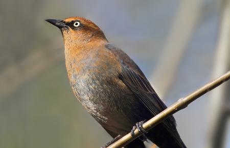 Rusty Blackbird (Euphagus carolinus) en plumage d'hiver perché dans un arbre