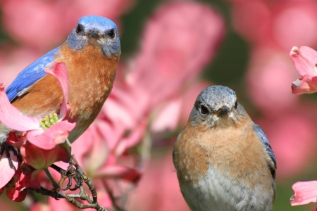 dogwood tree: Pair of Eastern Bluebirds (Sialia sialis) in a Dogwood tree with flowers