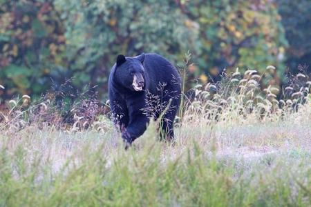 ursus: Black Bear (Ursus americanus) walking in a field in fall