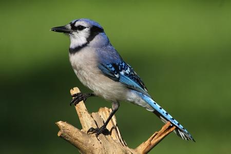 songbird: Blue Jay (corvid cyanocitta) with a green background