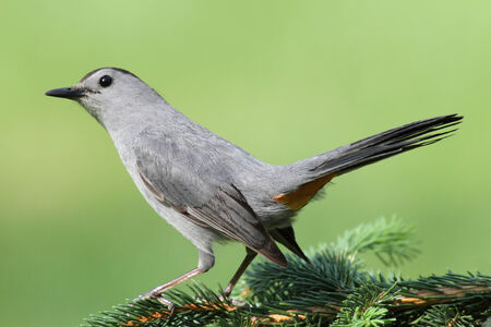 carolinensis: Gray Catbird (Dumetella carolinensis) on a perch with a green background