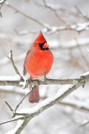 Male Northern Cardinal (cardinalis cardinalis) on a branch in a snow storm photo