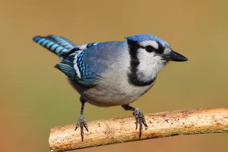 jay: Blue Jay (corvid cyanocitta) with a colorful background