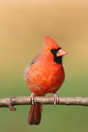 cardinal bird: Male Northern Cardinal  cardinalis cardinalis  on a branch with a colorful background and blank space for copy