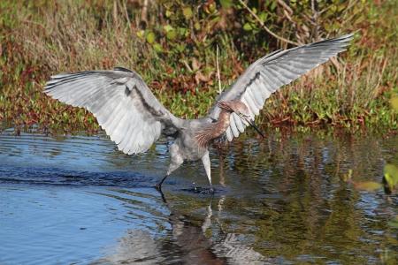 gulf of mexico: Reddish Egret (Egretta rufescens) hunting in the Gulf of Mexico