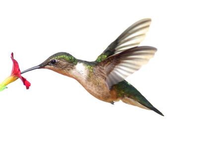 Mujer colibrí garganta rubí (Archilochus Colubris) en vuelo aislado en un fondo blanco Foto de archivo