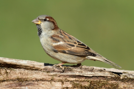 House Sparrow (Passer domesticus) perched on a stump with a green background