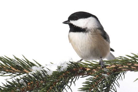 capped: Black-capped Chickadee  poecile atricapilla  on a snowy branch - Isolated on a white background