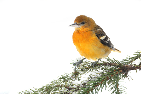 Baltimore Oriole  Icterus galbula  on a snowy branch isolated on white