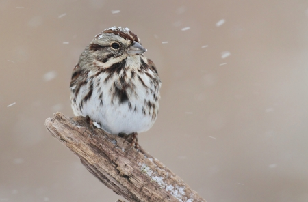 Song Sparrow (Melospiza melodia) perched on a tree limb in snow Banco de Imagens