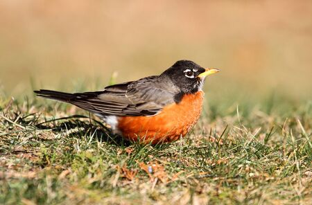 turdus: American Robin  Turdus migratorius  on a lawn