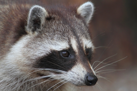 procyon: Raccoon (Procyon lotor) searching for food