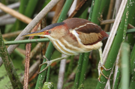 bittern: Least Bittern (Ixobrychus exilis) in the Florida Everglades