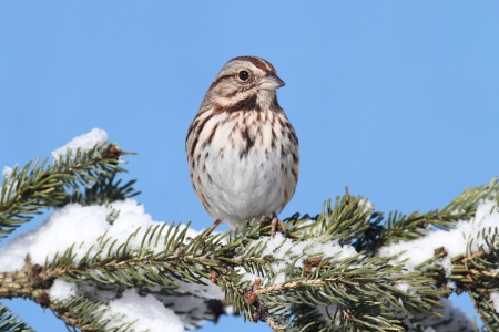 Song Sparrow (Melospiza melodia) perched on a snow covered tree limb Banco de Imagens