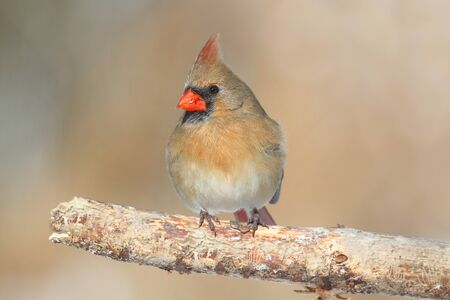 Female Northern Cardinal (cardinalis) on a branch photo