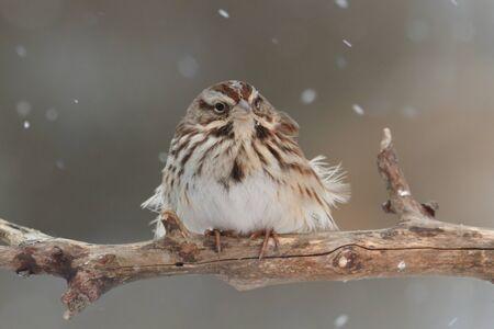 Song Sparrow (Melospiza melodia) se alza sobre una extremidad de árbol cubierto de nieve en caída de nieve Foto de archivo - 25439444